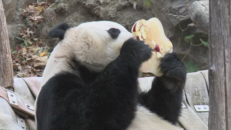 Bei Bei the panda devours huge ice cake