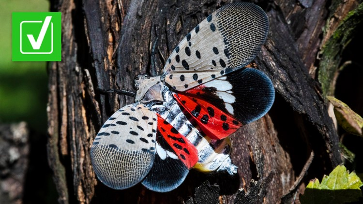 VERIFY: Spotted lanternflies are gorging on grape vines, threatening wineries