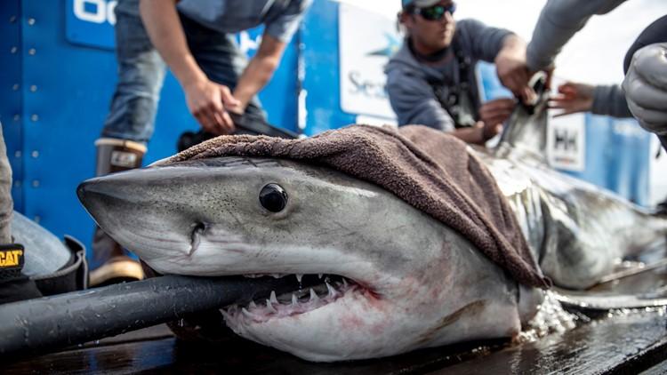022619 Brunswick the great white shark