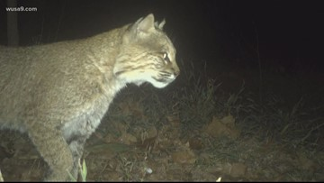 Bobcat spotted on camera lurking in Georgetown
