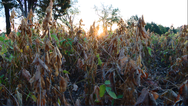 Soybeans at sunrise