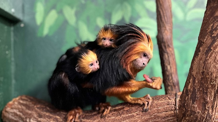 National Zoo welcomes golden-headed lion tamarin twins