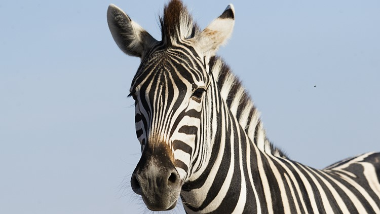 VERIFY: Can you have a Zebra as a pet in the DMV?