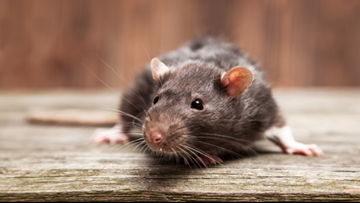 DC called about rats 6,434 times this year. We mapped out all of them