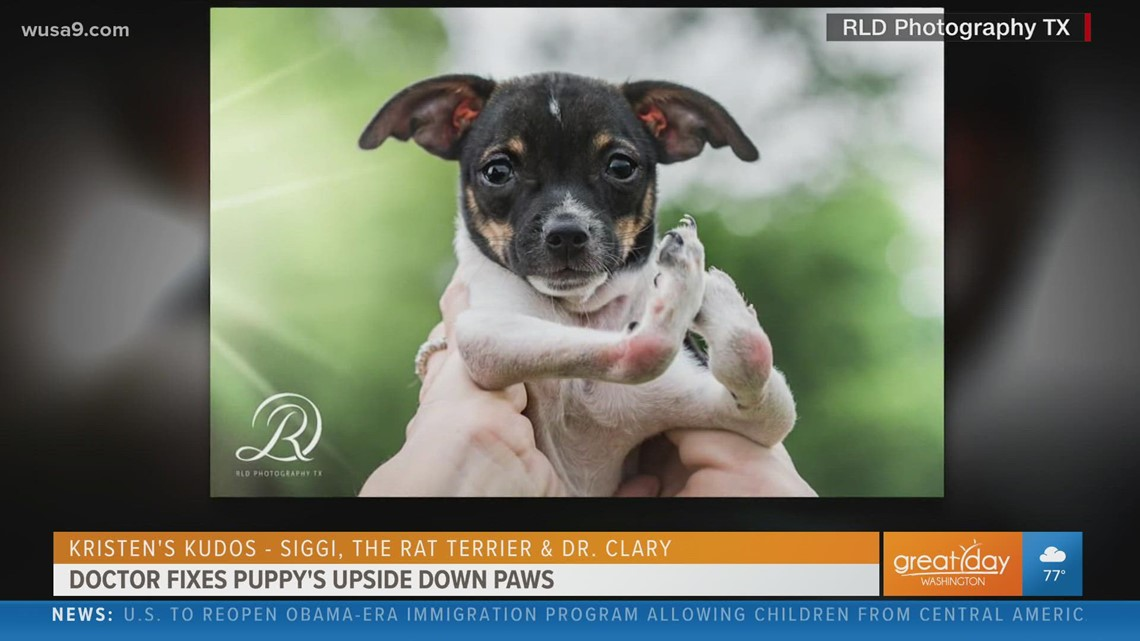 Puppy born with upside-down paws learns to walk again