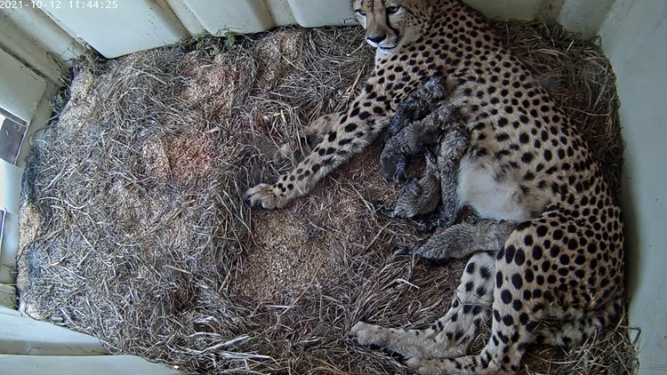 Cute alert: Smithsonian Conservation Biology Institute welcomes five cheetah cubs