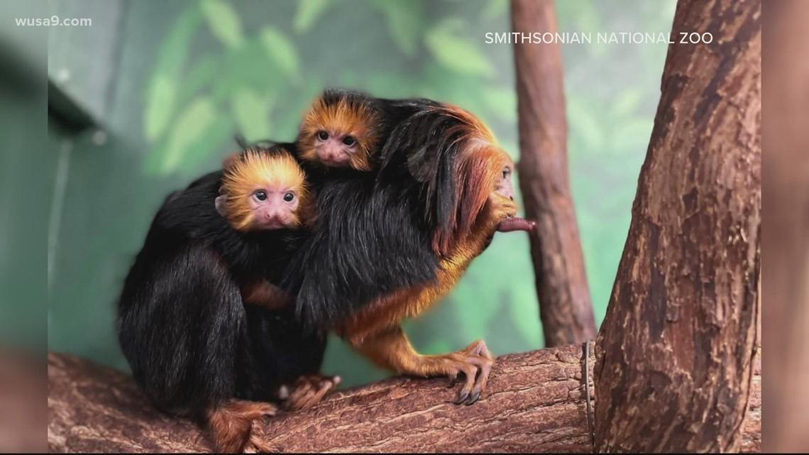National Zoo welcomes baby tamarin twins