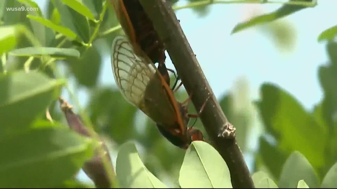 Scientist predict cicadas will disappear by July leaving behind knowledge, memories
