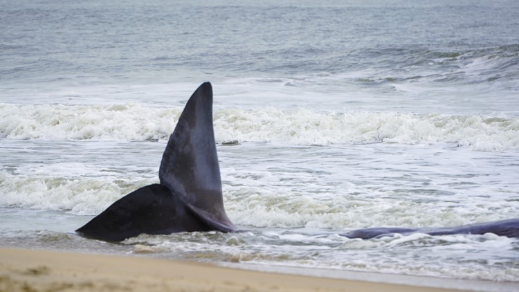 Aquarium: Beached whale on Maryland coastline is dead