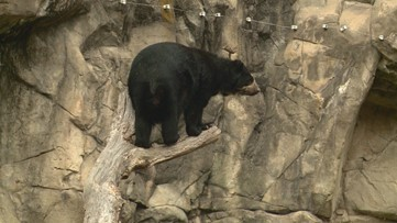 Meet Billie Jean and Quito, the Andean Bears breeding at the National Zoo