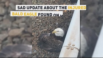 Injured bald eagle on Metro tracks had to be euthanized