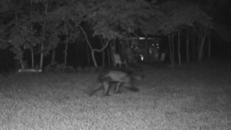 Mangy bear sparks concern in Aldie, Virginia