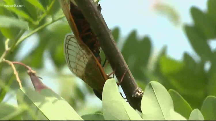 What we've learned from the Brood X cicadas