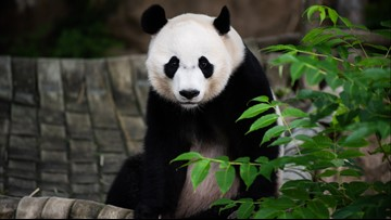Bei Bei the giant panda leaves the National Zoo for China