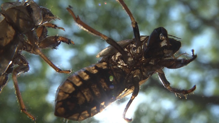 The cicada invasion will come to a stinky end