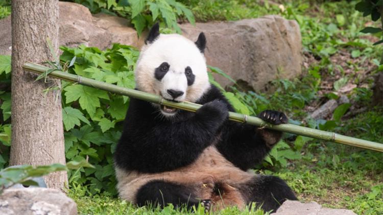 Bei Bei the giant panda