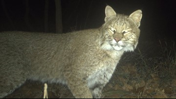 Photos: Bobcat spotted, photographed in Washington as part documenting DC's outdoor cat population