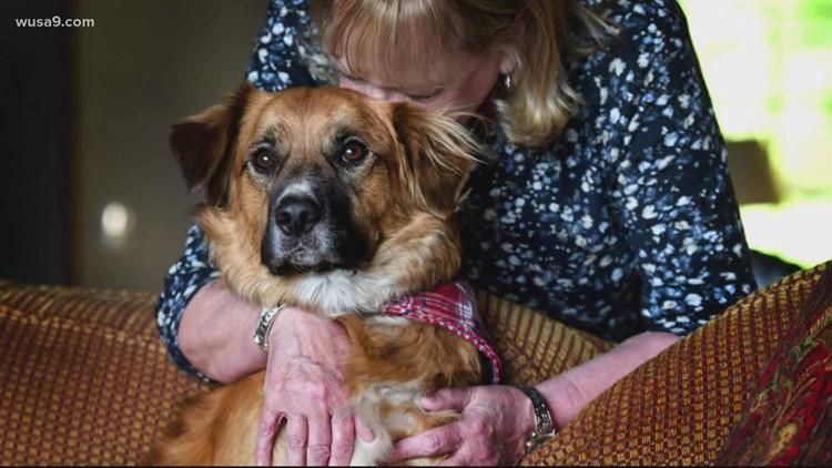Dog lost after crash found herding sheep   Get Uplifted