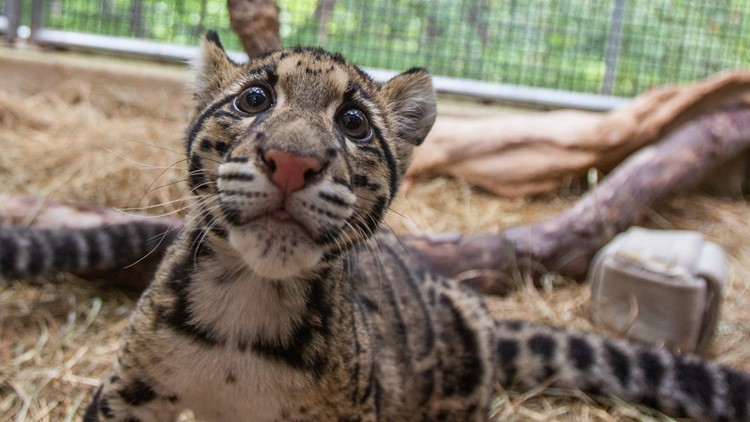 Clouded leopard cub at Smithsonian Zoo