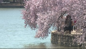 DC cherry blossoms reach stage 2, 'florets visible' | Here's what it means for peak bloom