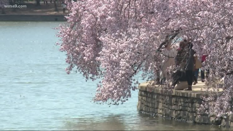 DC cherry blossoms reach stage 3, 'extension of florets' | Peak Bloom still expected early April