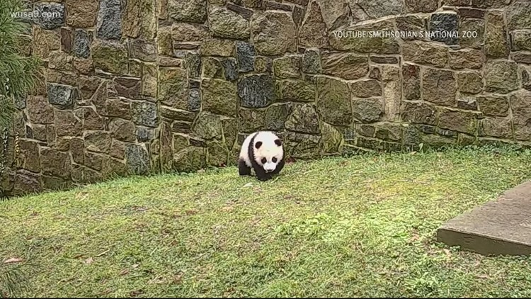 Panda Update | Cub turns 6 months old, ventures outside for first time at National Zoo