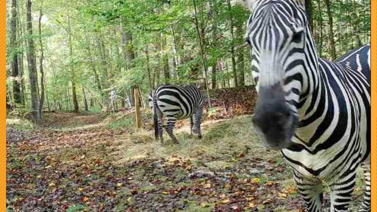 Couple raising funds to pay for professional capture of surviving escaped zebras