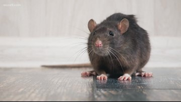 Pest control is an essential job during stay-at-home orders. Here's what that means for DC rats