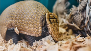 Virginia Zoo announces birth of baby armadillo