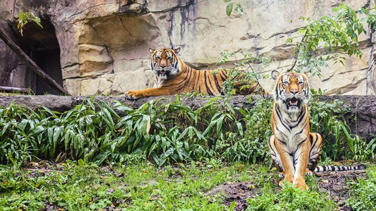 Two Virginia Zoo tigers test positive for COVID-19